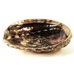 """Abalone Shell 5-6"""""""
