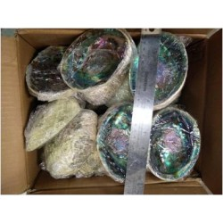 "Case of 5-6"" Abalone Shell(50pcs)"