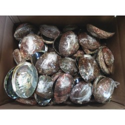 "Case of 5-6"" Abalone Shell(100pcs)"