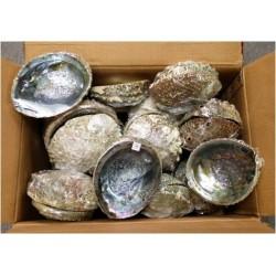 "Case of 5-6"" Mexico Abalone Shell(50pcs)"