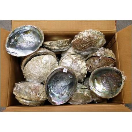 """Abalone Shell - 5-6"""""""