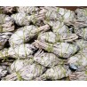 "4"" California White Sage Torch(100 pk)"