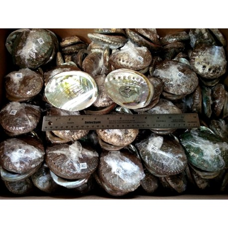 "Case of 5-6"" Mexico Green Abalone Shell(125pcs)"