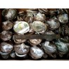 "4-5"" Mexico Green Abalone Shell(50pcs)"